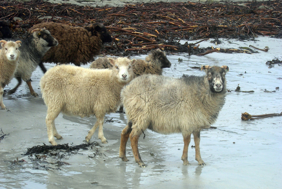 North-Ronaldsay-sheep